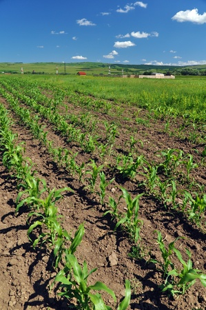 Field for growing corn in the purpose of making ethanol