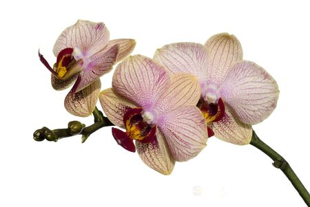 Beutiful Phalaenopsis orchid isolated on white background