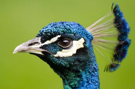 Male peacock at zoo