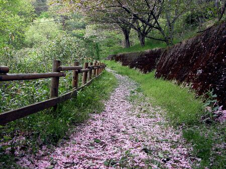 A beautiful path in the forest in the end of the spring covered by cherry blossoms petals.