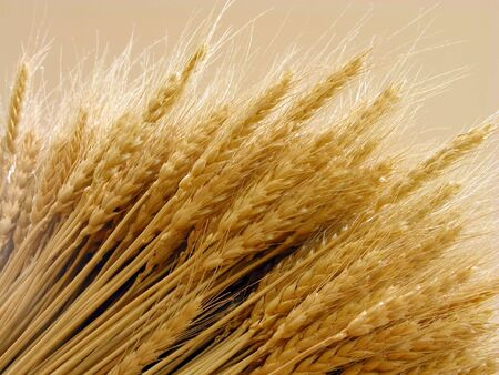 Wheat ears-close-up in special lighting condition photo
