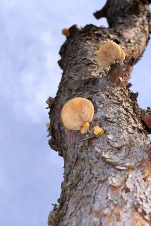 Image of a parasitic mushroom on a tree trunk. Selective focus on the mushroom. photo