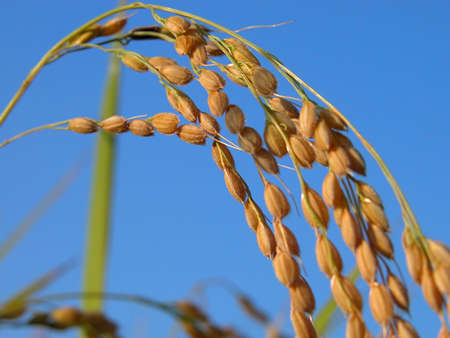 Detail of a rice ear in a rice field over a clean blue sky. Stock Photo - 783789