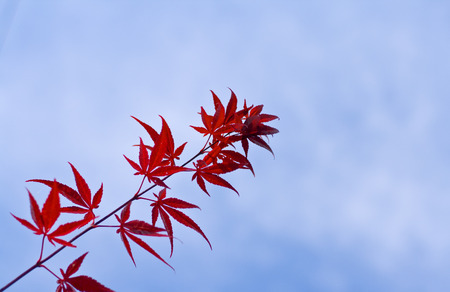 A twig with red maple leaves over a cloudy sky.The twig contains imperfect leaves.....100% natural aspect..non-edited. Stock Photo - 1697230