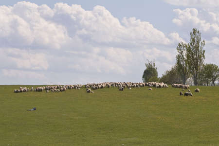Herd of sheep grazing on a beautiful summer day.  photo
