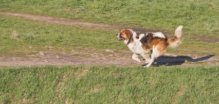 Saint Bernard dog running outdoors.Shot with Canon 70-200mm f2.8L IS USM photo