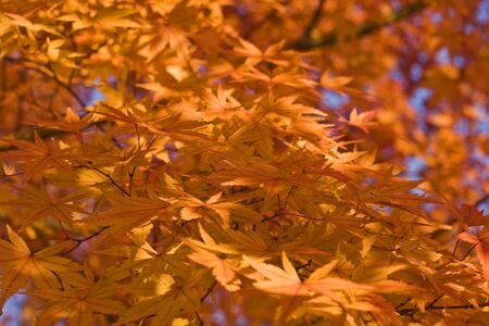Impressive aspect of yellow maple leaves. Stock Photo - 3807093