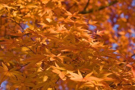 Impressive aspect of yellow maple leaves. Stock Photo - 3807093