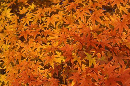 Impressive aspect of yellow maple leaves. Stock Photo - 3807094