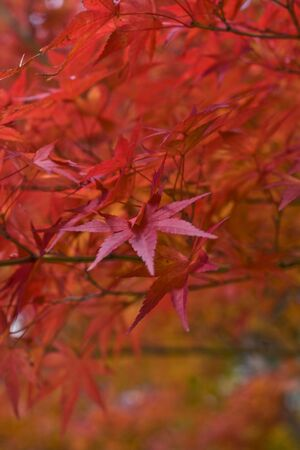 Red maple leaves detail-extreme selective focus. Stock Photo - 3814521