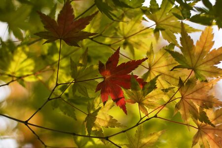 Image of various autumn maple leaves. Stock Photo - 3823719