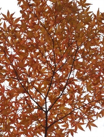 A twig with many red autumn maple leaves against a white background Stock Photo - 3823723