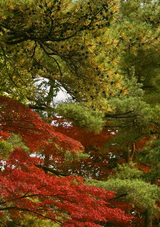 Specific mixture of Japanese fall colors. Stock Photo - 3842233