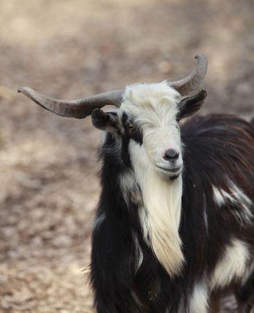 hircus: Black and white male goat (Capra hircus) portrait. Stock Photo