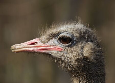 struthio camelus: Profile of a dirty ostrich (Struthio camelus)