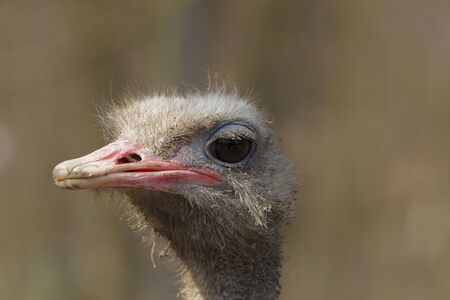 struthio camelus: Portrait of a dirty ostrich (Struthio camelus)