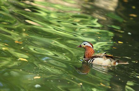 aix galericulata: Mandarin duck (Aix galericulata) in water with green tree reflexions.