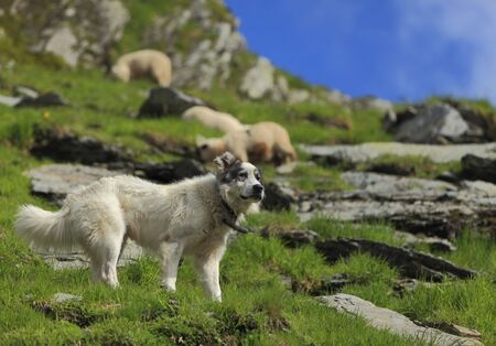 Shepherd dog in a montainous area.