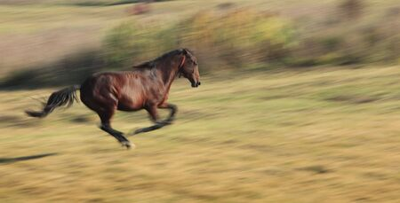 Panning image of a horse running in a fall field.The horses breed is Romanian Light heavy-weight. photo