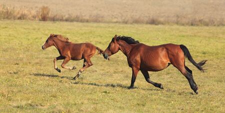 haste: Mare and her foal running free in an autumn field.(The breed is Romanian Light heavy-weight).