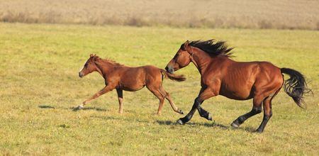 Mare and her foal running free in an autumn field.(The breed is Romanian Light heavy-weight).