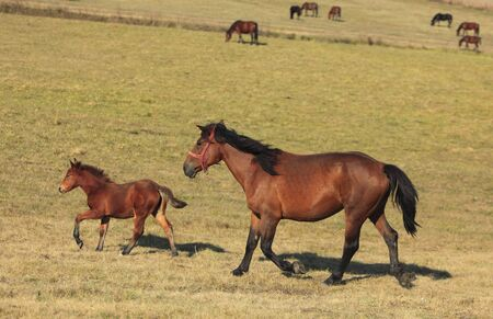 Mare and her foal trotting free in an autumn field.(The breed is