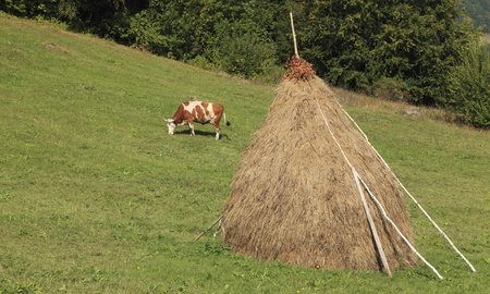 hayrick: Cow grazing in a mountainous pasture with a hayrick.