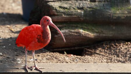inhabits: The Scarlet Ibis (Eudocimus ruber) is a species of ibis that inhabits tropical South America and also Trinidad and Tobago. It is the national bird of Trinidad. Stock Photo