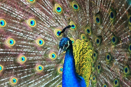 blue peafowl: Portait of a beautiful peacock (Pavo cristatus) which is  is designated as the national bird of India.