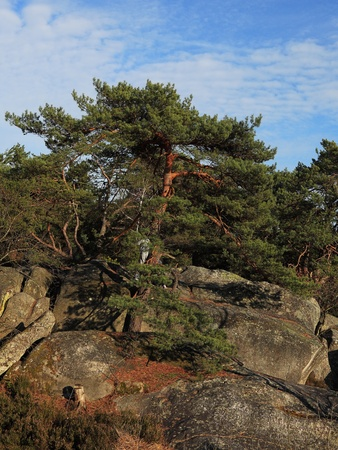 scots: Image of a Scots Pine (Pinus sylvestris) in the Gorges of Franchard in the forest of Fontainebleau in the early spring.This French forest is a national natural park wellknown for its boulders with various sahpes and dimensions. It is the biggest and most  Stock Photo