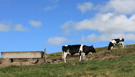 trough: Image of cows grazing on a high altitude pasture in The Central Massif in Auvergne region in France.