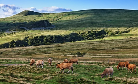 Herd of cattle grazing on the high altitude pasture in The Central Massif in Auvergne region of France.