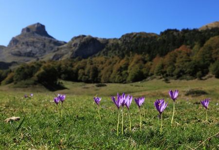 A field with violets flowers in Pyrenees mountains during the autumn.Location: Ossau Valley in Pyrenees Mountains in the South of France. photo