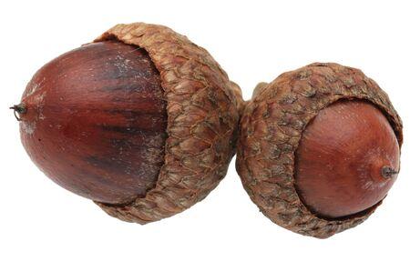acorns: Macro image of twin acorns isolated against a white background Stock Photo