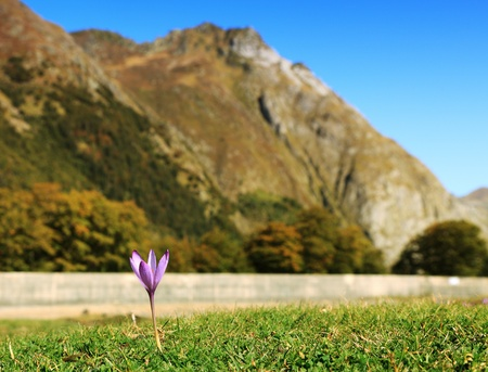 Image of a violet in a grass field at the foot of the mountains. photo