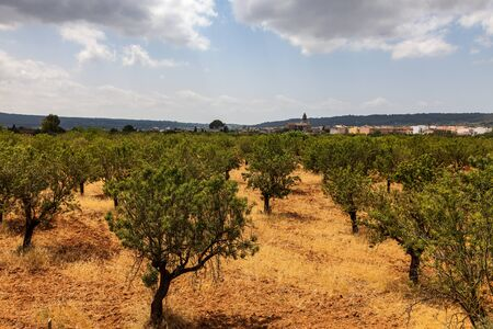 Image Of An Orchard With Almond Trees Located Near Alaro Townalmond town