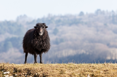 adapted: Portrait of a black domestic sheep Ouessant,which is the smallest sheep in the world, adapted to live in windy areas. Stock Photo