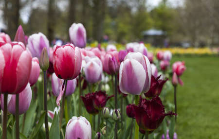 tulipa: Dutch flowers garden with various types of Triumph Tulips and Red Wing Fringed Tulips. Stock Photo