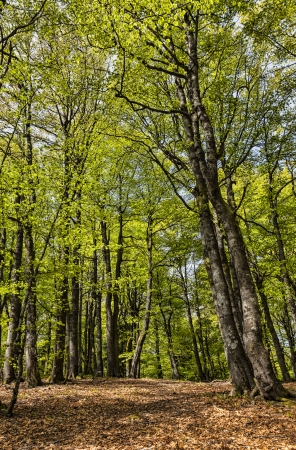 deciduous woodland: Beautiful footpath in a green deciduous forest in spring, located in Vosges Mountains in the eastern part of France. Stock Photo