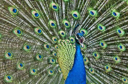 blue peafowl: Close-up image of a beautiful peacock sceaming