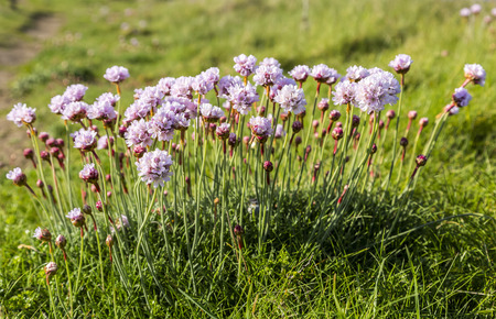 efflorescence: Armeria maritima moving in the wind on the Brittany coast in North of France