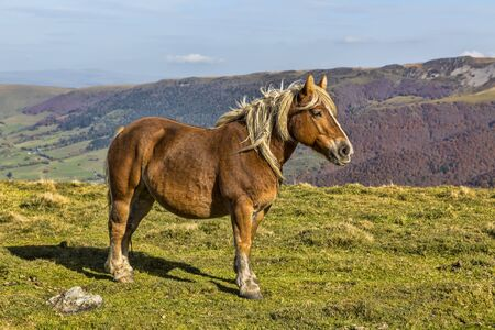 cantal: Profile of a wild blond horse in mountains.