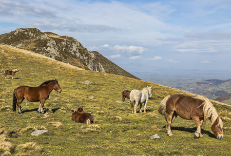 massif: Wild horses grazing at high altitude in The Central Massif in France.