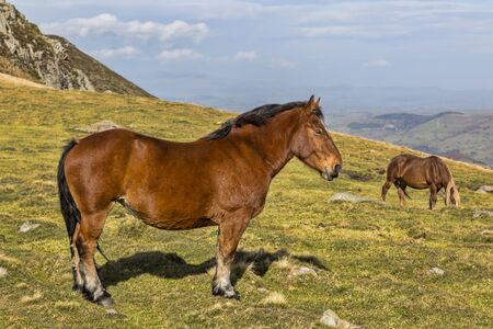 cantal: Profile of a wild brown horse in mountains.