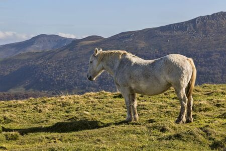 cantal: Profile of a wild gray horse in mountains.