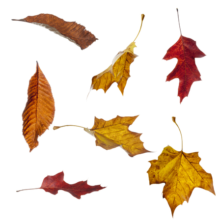 falling: Various autumn leaves in different falling positions isolated against a white background