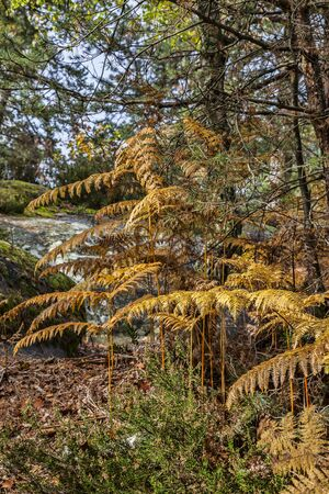 first plane: Busy autumn forest with gold ferns in the first plane, located in Fontainebleu Forest in The Central France.