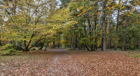 broadleaved tree: Autumn path covered in fallen leaves in a hardwood forest located in Fotnainebleau Forest in Central France.