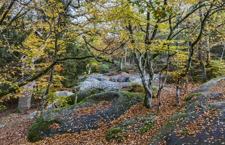 tree  forest: Beautiful fall landscape with colorful trees and rocks located in Fontainebleau Forest in Central France. Stock Photo