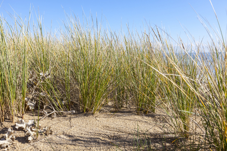 exclusively: Image of specific grass Ammophila - Marram Grass located exclusively on sand dunes, here in the nord west of France in Finistere,Brittany.